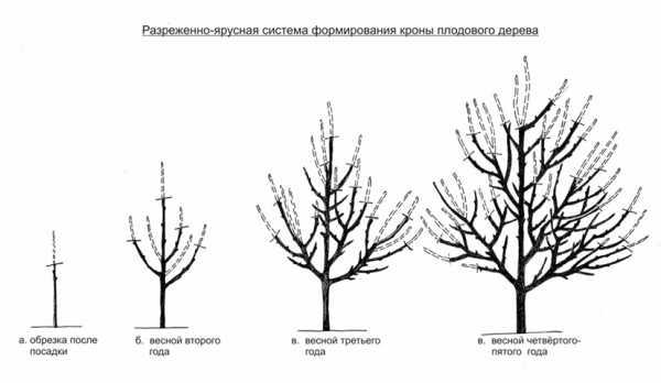 Формирующая обрезка яблони — от саженца до взрослого дерева