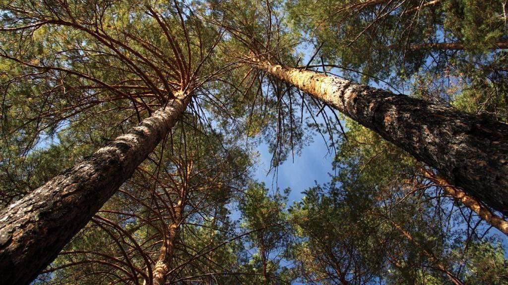 Когда можно пересаживать сосну. как правильно пересаживать сосну из леса