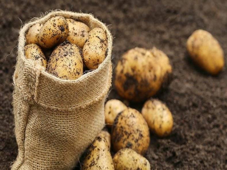 Описание и особенности выращивания картофеля сорта королева анна