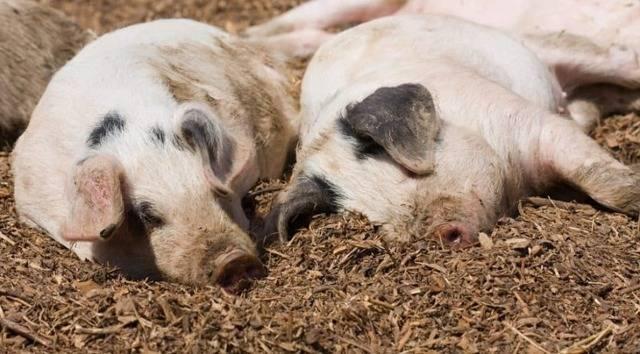 Какая температура у свиней нормальная: симптомы повышения, лечение