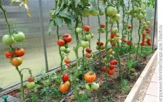 Томат «золотая теща»: характеристика и описание сорта, особенности выращивания
