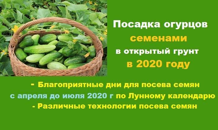 Какие сорта огурцов подойдут для выращивания на северо-западе страны