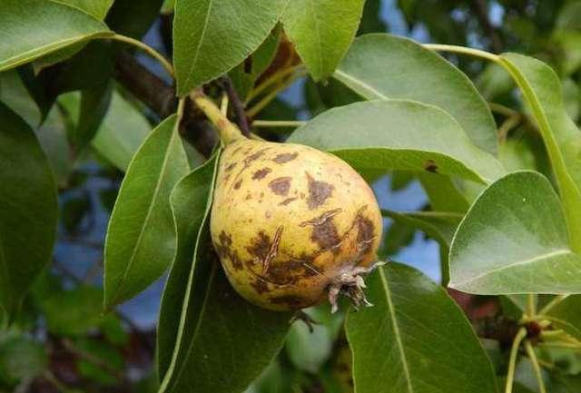 Чернеют листья на груше и плоды – что за болезнь и как лечить