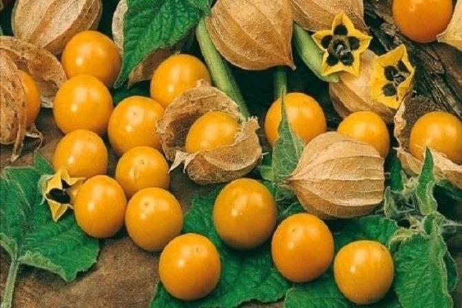 Оранжевыефонарики осеннего сада: как правильно выращивать физалис декоративный