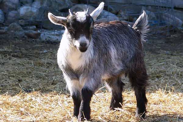 Камерунские козы: производительность и рекомендации по содержанию