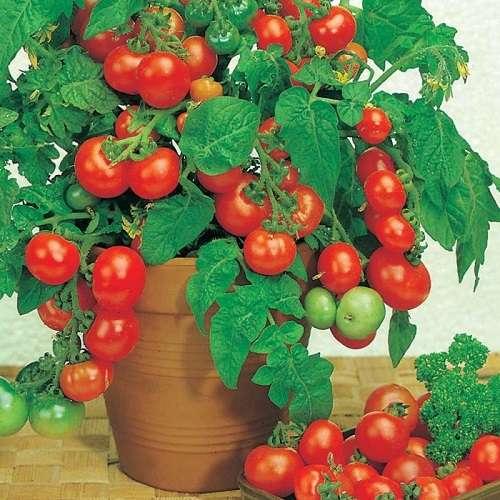 Сорта помидор для балкона