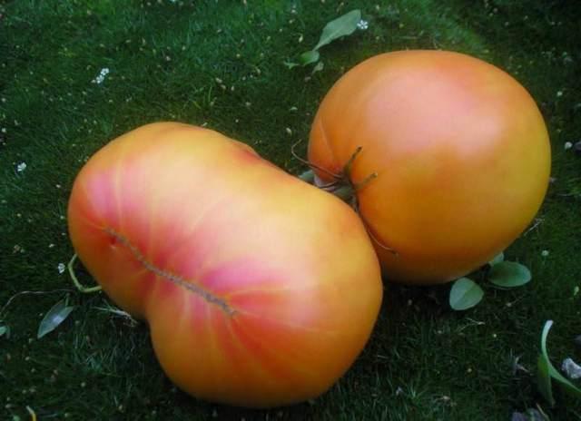 Маленький томат с большим урожаем: описание сорта загадка, агротехника, отзывы
