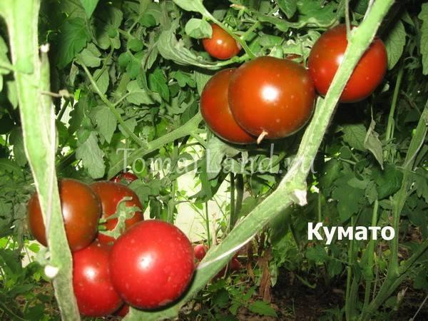 Черноплодные томаты «кумато»
