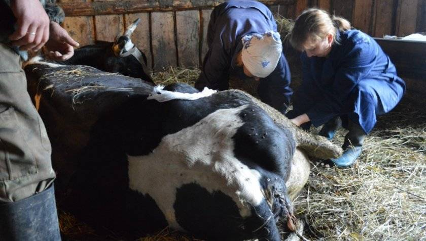 Кровянистые выделения у коровы при осеменении