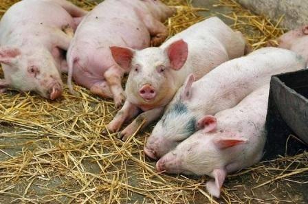Отравление свиней поваренной солью: симптомы, лечение