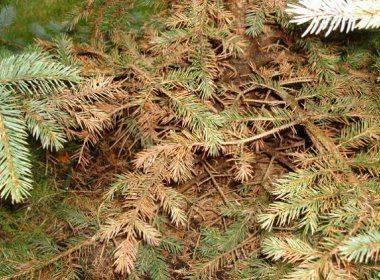 Методы борьбы с елово-пихтовым хермесом