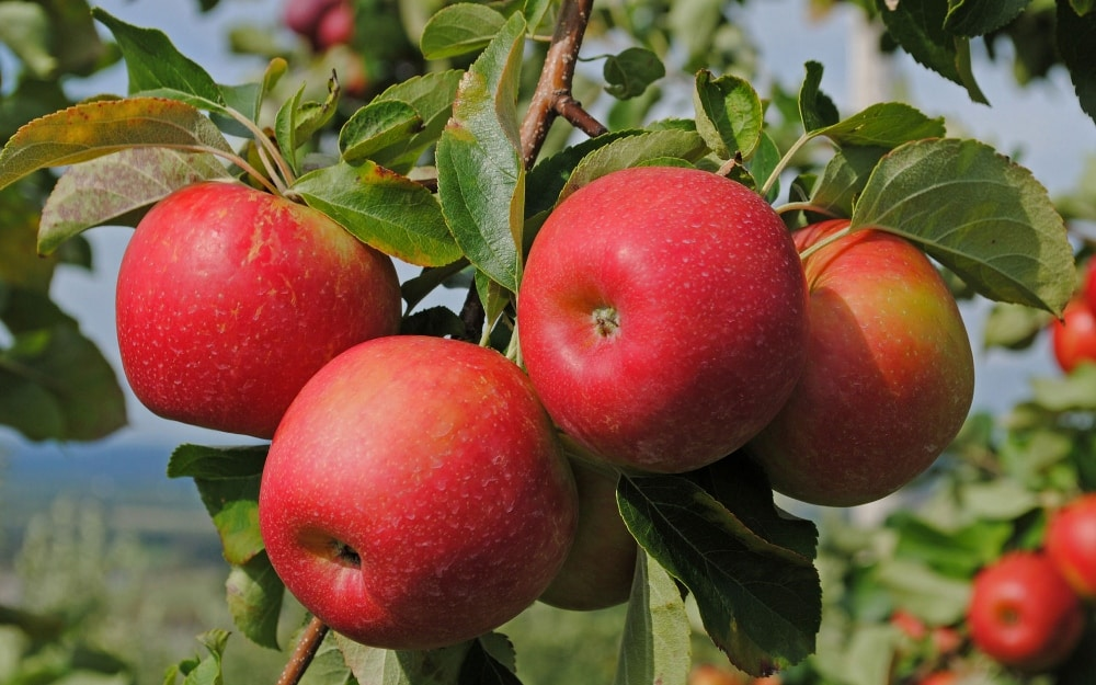Сорт яблок бельфлер китайка