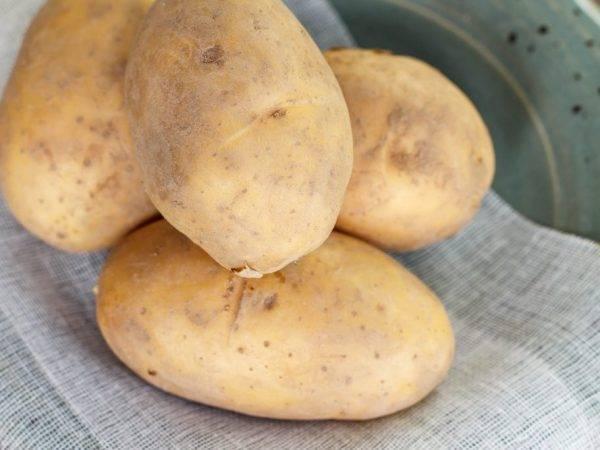 Картофель сорта великан