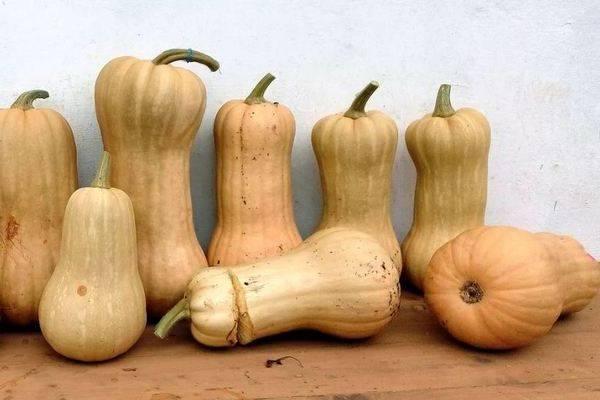 Тыква матильда: описание, выращивание