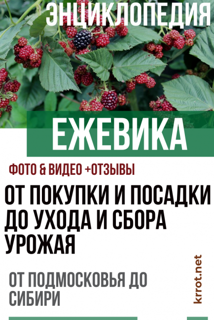 Особенности выращивания ежевики сорта дарроу