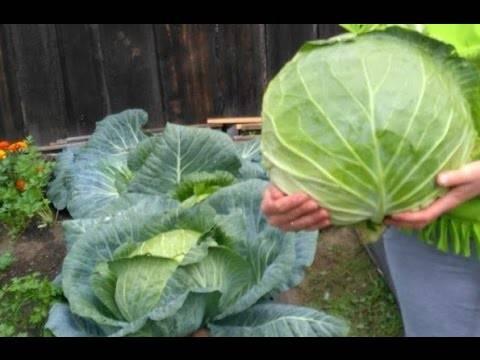 Капуста мегатон: 8 особенностей и 12 советов по выращиванию и уходу