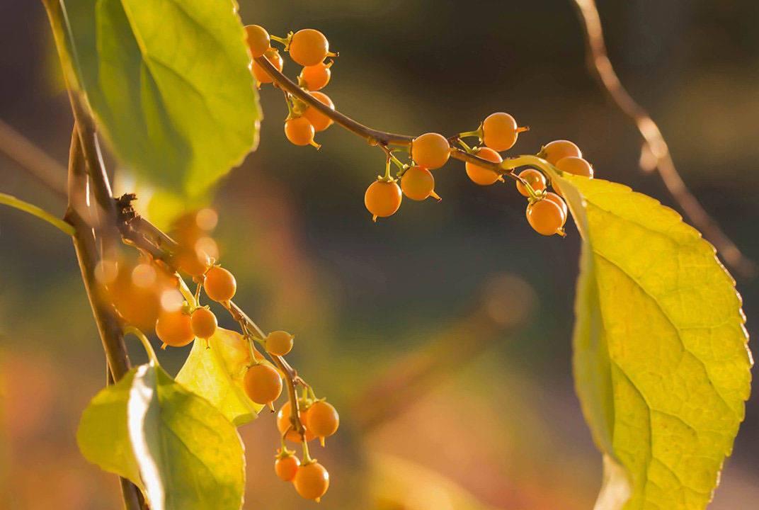 Чубушник — посадка и уход в открытом грунте, фото и размножение