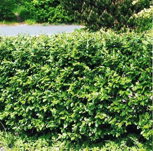 Живая изгородь из кизильника – плотный кордон на вашем участке