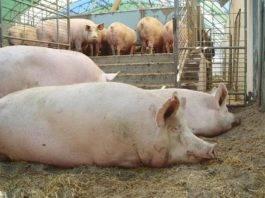 Крестец свиной что приготовить
