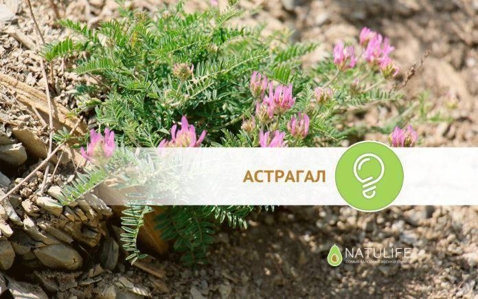 Астрагал перепончатый: лечебные и полезные свойства корня, экстракта, противопоказания астрагалуса