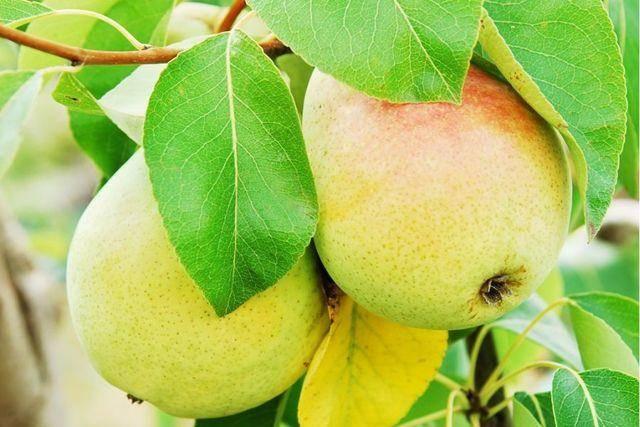Знаменитая китайская груша: польза и вред, обзор калорийности и особенностей употребления