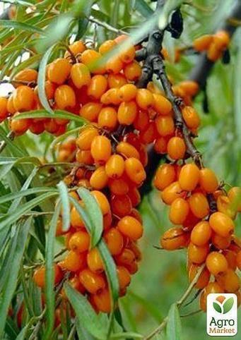 Облепиха улала — описание сорта, фото и отзывы садоводов