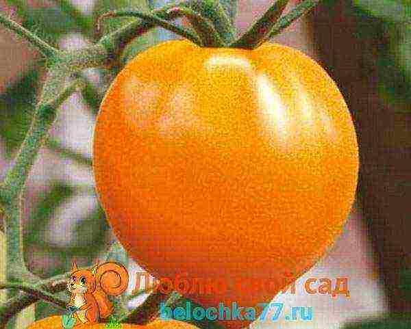 Томат «оранжевый слон»: полезный и вкусный