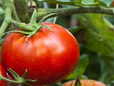 Помидоры «спасская башня»: описание, агротехника выращивания