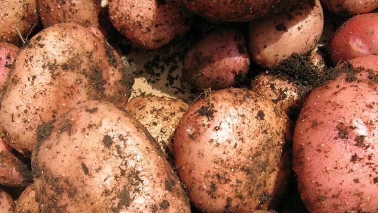 Картофель розара - описание сорта
