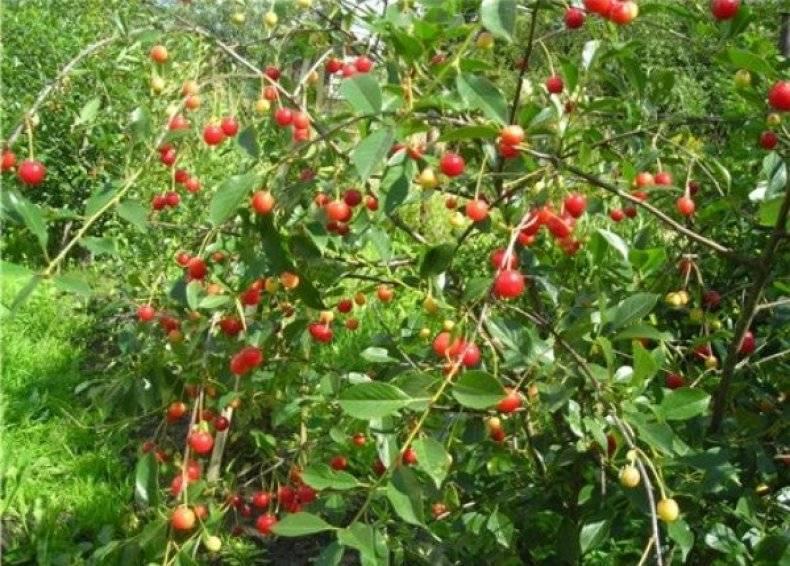 Об уральской рубиновой вишне: специфика сорта