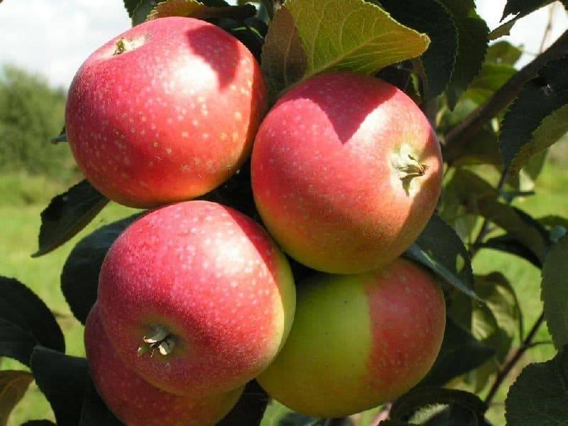 Летний сорт с хорошими характеристиками — яблоня дачная