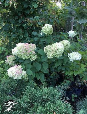 Гортензия метельчатая белая, красная, розовая — лучшие зимостойкие сорта