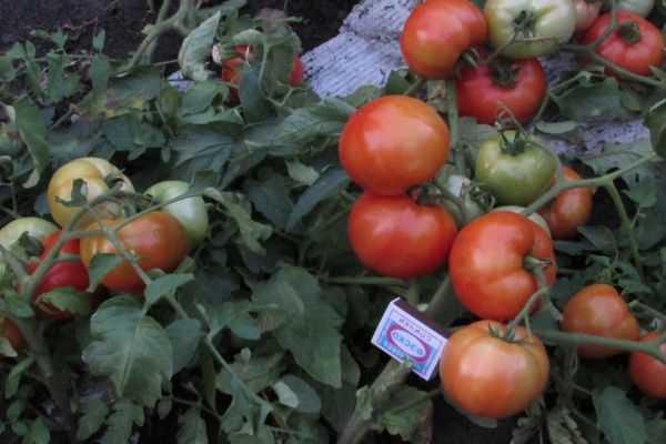 Описание и характеристики томата утренняя роса