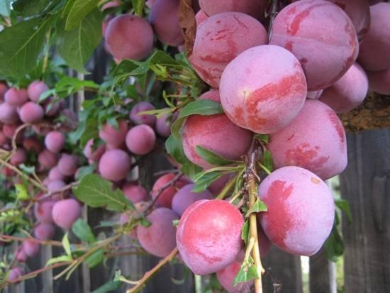Особенности выращивания и ухода за китайской сливой