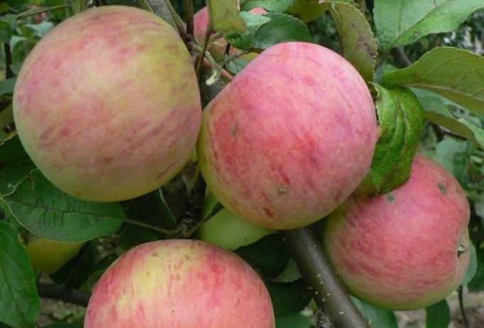 Периодичность плодоношения и урожайность яблони россошанское полосатое, отзывы садоводов