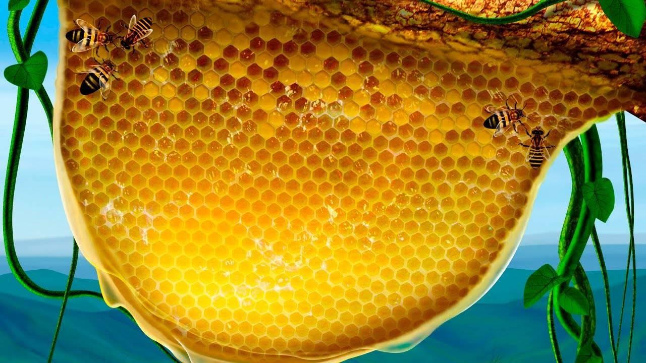 Мед в сотах: можно ли есть пчелиный воск, полезные свойства