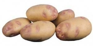 Один из самых популярных сортов картофеля: «пикассо» — описание, характеристика, фото