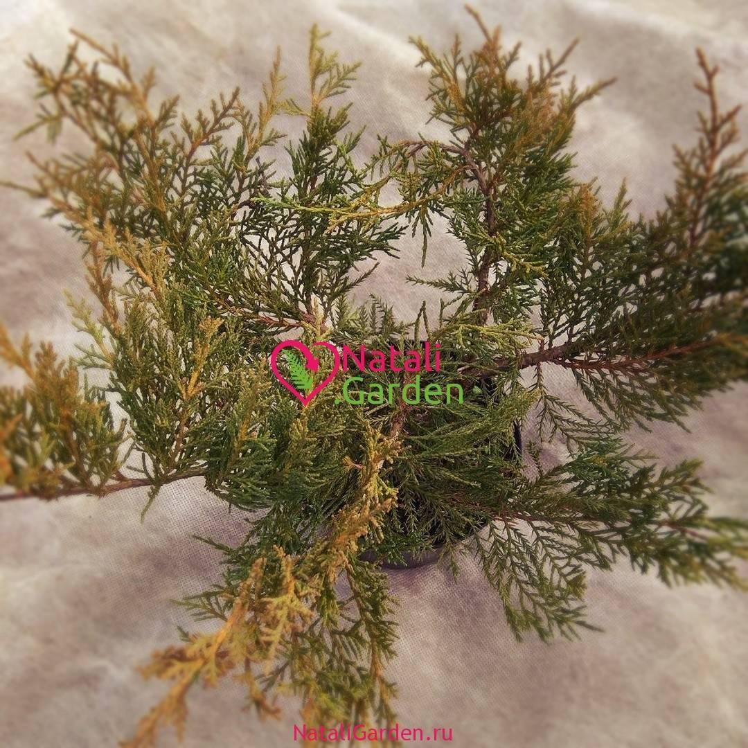 Можжевельник хиберника: описание, фото, выращивание