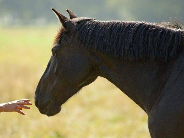 Особенности андалузской породы лошадей