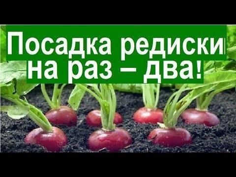 Почему важно вовремя сажать редис и когда надо это делать? практические рекомендации для получения хорошего урожая