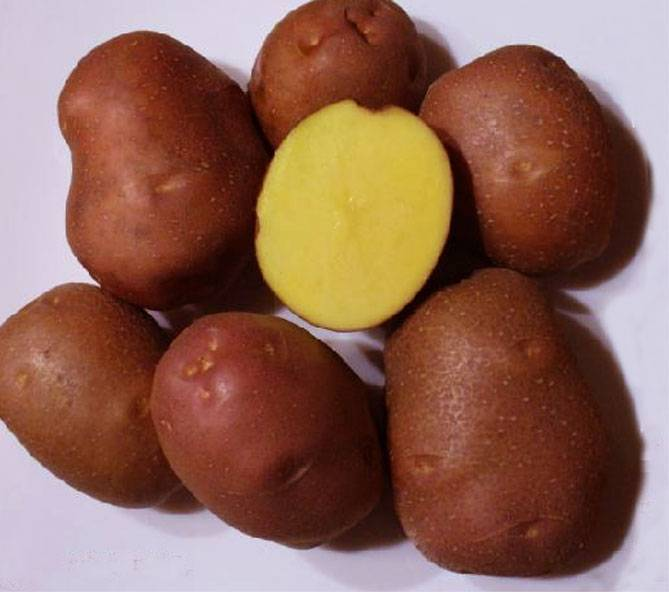 Картофель «розара»: описание сорта, фото и отзывы