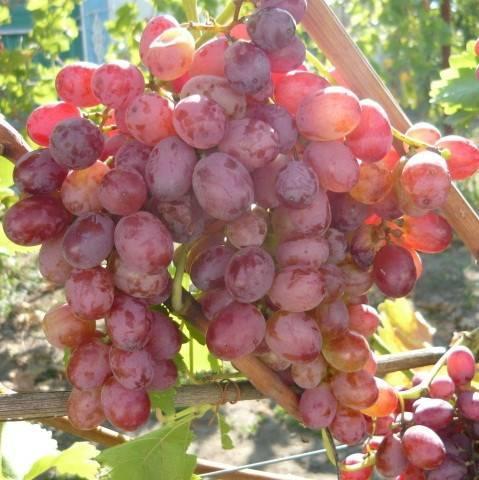 Сорт винограда кишмиш ГФ-342