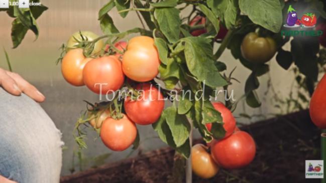 Томат Герцогиня вкуса: фото, описание, отзывы