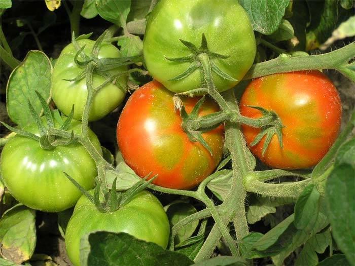 Томат  «пузата хата»: описание и характеристика сорта, выращивание и уход