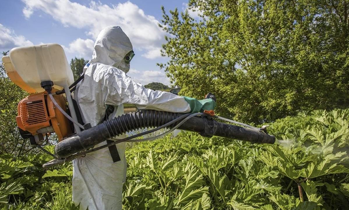 Борщевик на дачном участке? основные методы борьбы с сорняком