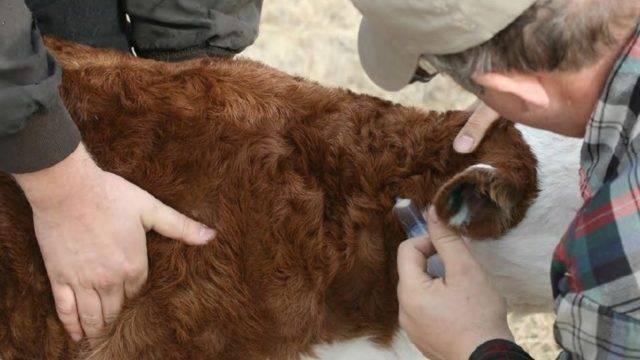Корова и теленок кашляют, тяжело дышат по утрам: почему, что делать и чем лечить — причины кашля и соплей — moloko-chr.ru