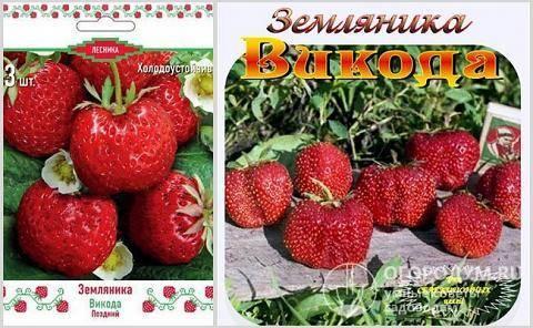 Клубника викода: описание и характеристики сорта, выращивание и уход с фото