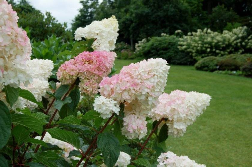 Когда и сколько цветёт гортензия метельчатая