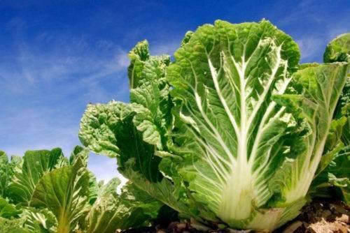 Польза и вред белокочанной капусты для организма: лечебные свойства, рецепты приготовления
