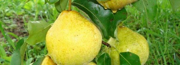 Особенности выращивания груши сорта белорусская поздняя